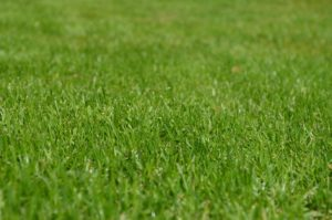 mullvadar i gräsmattan